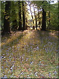 SP8303 : Typical Chilterns Woodland by Adam