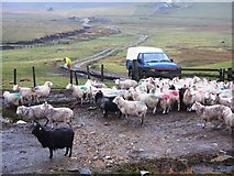 HU3553 : Waiting for Breakfast, Shetland by Robert Bone