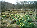 NR7861 : Daffodils and ruins by Patrick Mackie