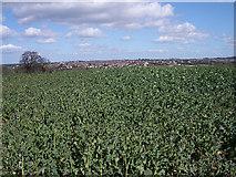 SE3832 : Green leafy crop by Lis Burke