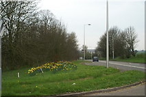 ST4862 : Daffs on the A38 by Adrian and Janet Quantock