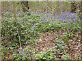TL0666 : Bluebells in Swineshead Wood by Kokai