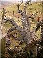 NM7815 : Wishing Tree near Ardmaddy by Gerry McArdle
