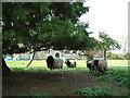 SP9320 : Surly sheep, Slapton churchyard by Rob Farrow
