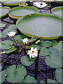 TQ1877 : Water lilies at Kew Gardens by David Hawgood