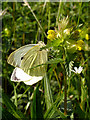 ST5477 : Large White Butterfly on Hay Rattle by Linda Bailey