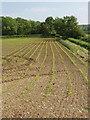 SP6605 : Maize seedlings near Tiddington by David Hawgood