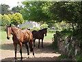 SW5134 : Horses near Tregender by Sheila Russell