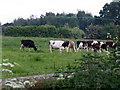SJ6644 : Cows at Little Heath by Nigel Williams