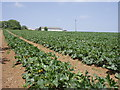 SW5833 : Fields of marrows at Mably by Sheila Russell