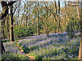 SE1248 : Bluebells in Middleton Woods, Ilkley by Derek Sains