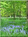 SU8294 : Woodland, West Wycombe Park by Jurek and Trish  Sienkiewicz