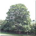 SP8902 : Sycamore tree in hedgerow, near Great Missenden by David Hawgood