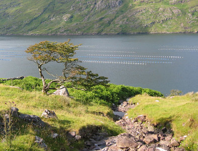 L7963 : Stunted tree by Killary Harbour by Espresso Addict