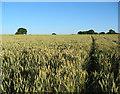 SJ5850 : Ripening wheat, near Brook House by Espresso Addict