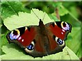 SK5243 : Peacock butterfly (Inachis io) by Lynne Kirton