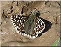 SU1848 : Grizzled Skipper (Pyrgus malvae) by Hugh Venables
