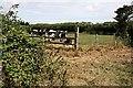 SW7953 : Cattle Grazing by Tony Atkin