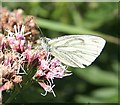 NO7048 : Green-veined White Butterfly (Pieris napi) by Anne Burgess