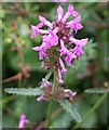 SW8157 : Betony - Stachys officinalis by Tony Atkin