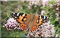 NO7048 : Painted Lady Butterfly (Cynthia cardui) by Anne Burgess
