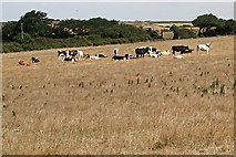 SW7952 : Cattle in Dry Pasture by Tony Atkin