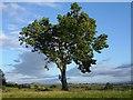 NY6532 : Lone tree, Kirkland by Hugh Chevallier