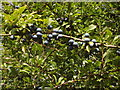 SP7504 : Sloes on a blackthorn hedge, near Thame by David Hawgood