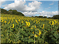 SU3376 : Sunflowers, Thorn Hill by Andrew Smith