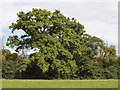 SP8500 : Oak tree, Great Hampden by David Hawgood