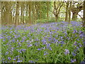 TM1239 : Carpet of Bluebells by Keith Evans