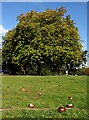 ST5775 : Conker Tree on Durdham Downs by Linda Bailey