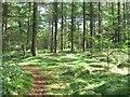 SK3062 : Pine trees in Farley Moor Wood by Nikki Mahadevan