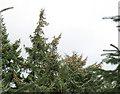 SH5550 : Cone-laden trees by Eric Jones