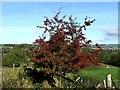 SE0239 : Hawthorn Tree near Lower Laithe. by Steve Partridge