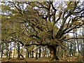 SU3307 : Spreading oak tree in Matley Wood, New Forest by Jim Champion