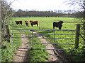 TG3325 : Fierce-looking cattle, Dilham, Norfolk by Rodney Burton
