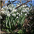 SX3683 : Snowdrops in the Hedge Bottom by Tony Atkin