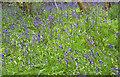 SW6430 : Bluebells by Maigheach-gheal