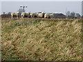 SE7021 : Sheep by John Collett