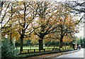 SJ5782 : Horse chestnuts lining the road at Daresbury Village by Tom Pennington