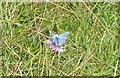 SO8503 : Rare Adonis Blue butterfly on Rodborough Common by Mel Evans