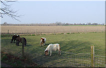 TL2036 : Miniature horses at Stotfold. by Jeff Tomlinson