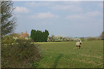 TQ8347 : A sheep in a field by Robin Webster