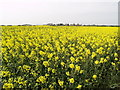 TA2533 : Field of Rapeseed by Andy Beecroft