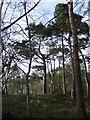 NY5156 : Pines on the edge of Brampton Quarry. by Jonathan Billinger