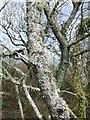SW7820 : Lichen covered bark by Jonathan Billinger