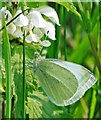 SU0017 : Small white (Pieris rapae) on nettle by Simon Barnes