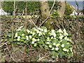 SW7224 : Primroses on the roadside by Jonathan Billinger