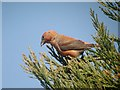 TL7882 : Common Crossbill (Loxia curvirostra) by Hugh Venables